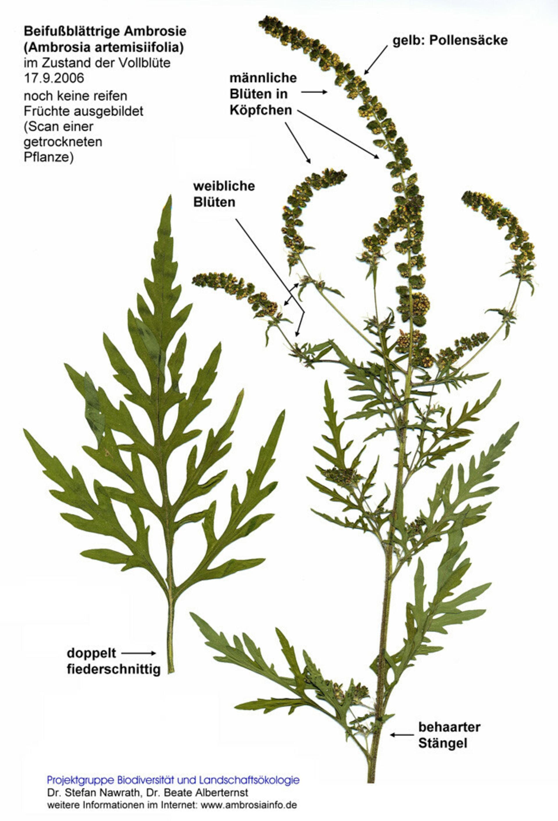 Ragweed/Beifußblättriges Traubenkraut
