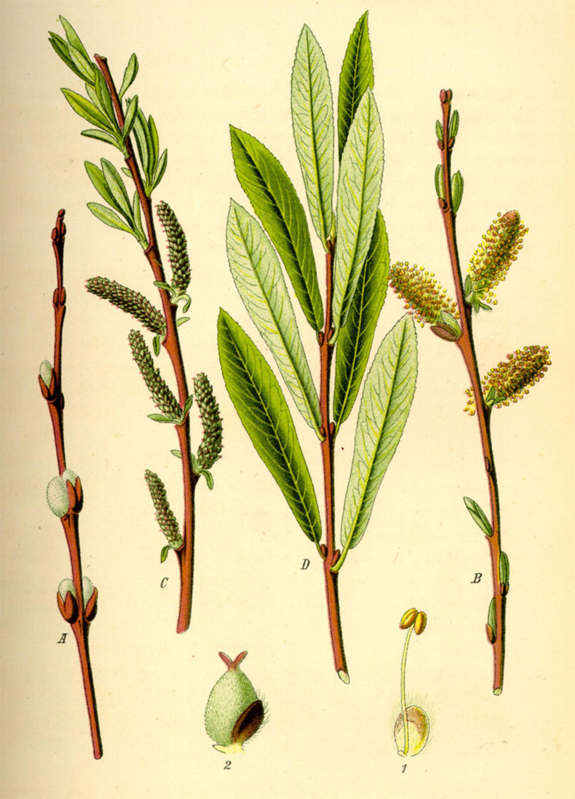 Purpur-Weide